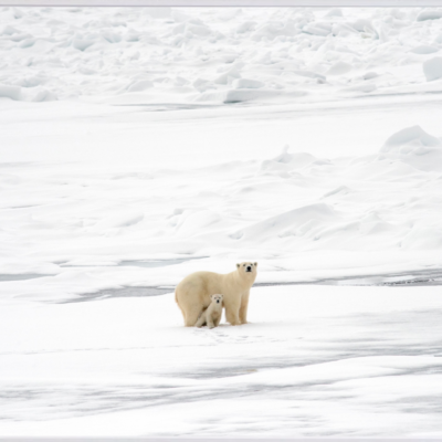 Arctic Fading: Polar bear and her cub