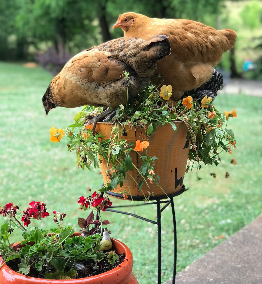Victoria House On the Farm chickens in a flower pot